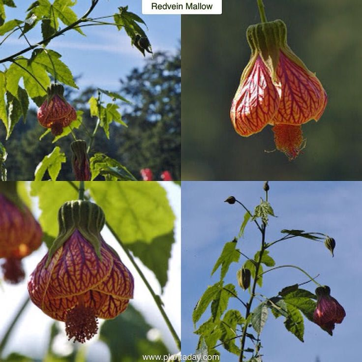 redvein mallow abutilon striatum type broadleaf evergreen shrub exposure sun part shade water