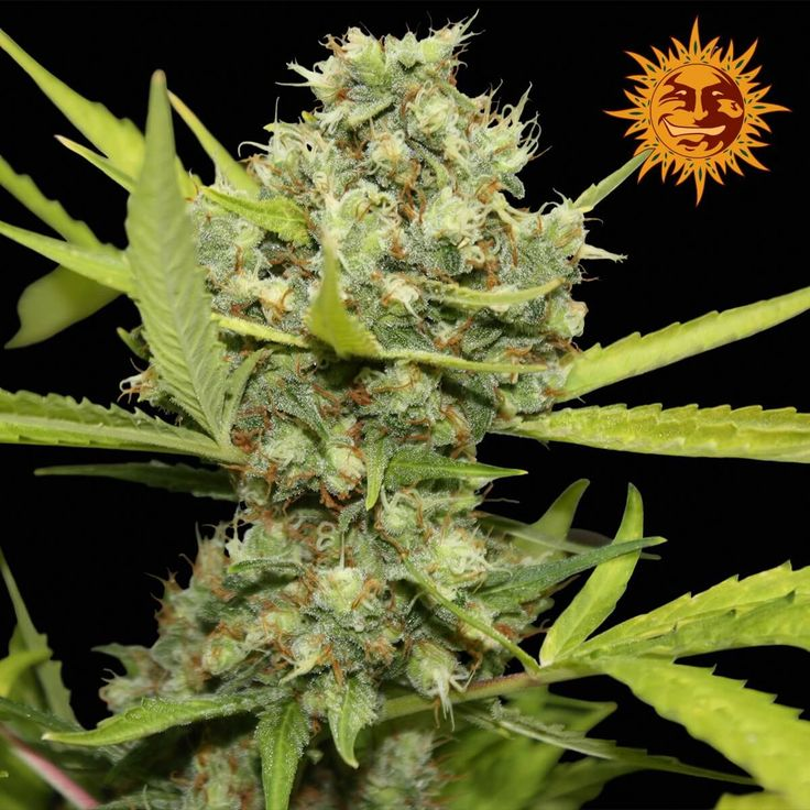 Pineapple Chunk Feminised Seeds by the cannabis breeder Barney's Farm Seeds, is…