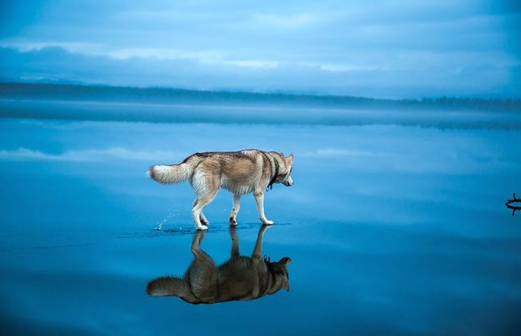 Distractify | Siberian Huskies Walking On A Frozen Lake Is Like Something Out Of A Fairy Tale