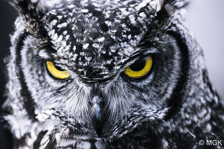 Angry Owl by Mike Kuipers on 500px