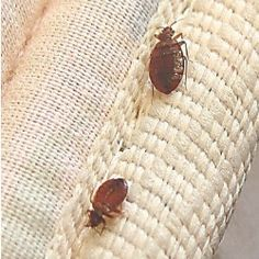 20 best bed bugs gone !! images on pinterest