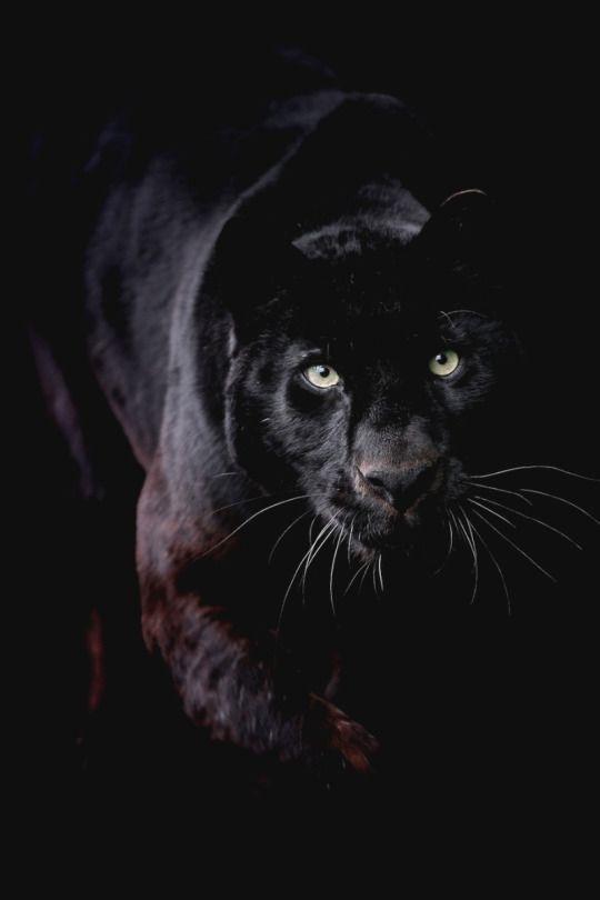 Black Leopard by Gary Brookshaw