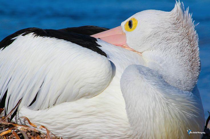 Pelican sleeping on Rottnest