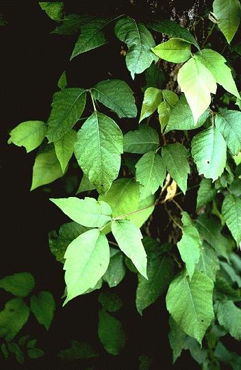 ID site for poison ivy, poison oak & poison sumac!