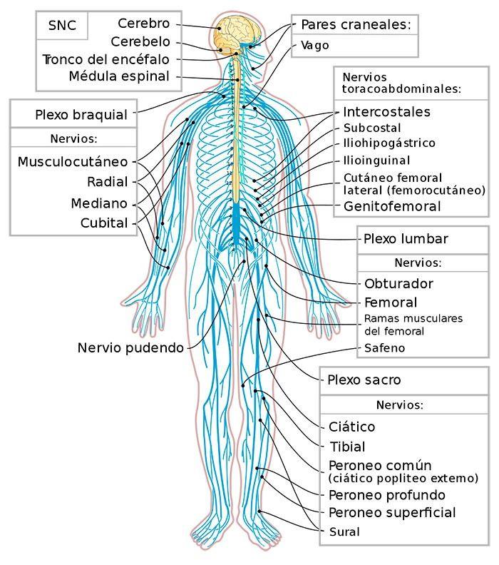 Sistema Nervioso Periferico Anatomia Partes Y Funciones Sistema Nervioso Periferico Sistema Nervioso Sistema Nervioso Humano