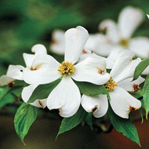 28 Best Crepe Myrtle Images On Pinterest Flowering Trees