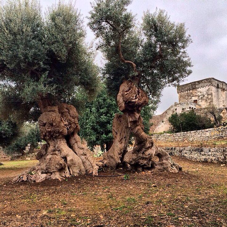 Ancient olive tree, diameter 12 m #weareinpuglia #parcodunecostiere #monopoli masseriaspina