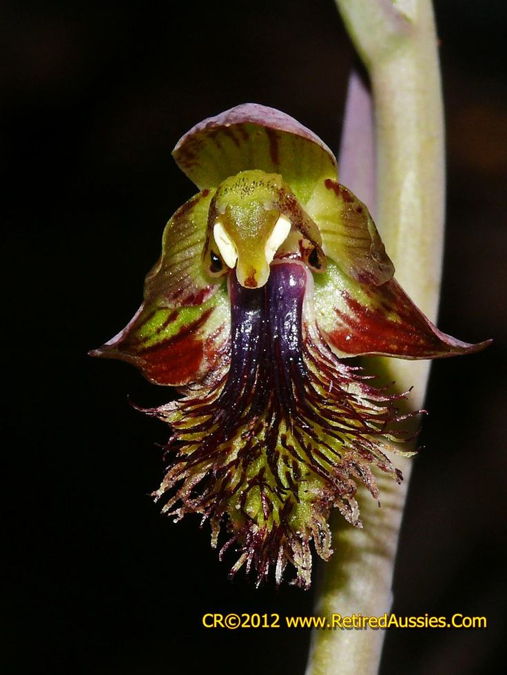 Calochilus pruinosus - The Male-Beard Orchid
