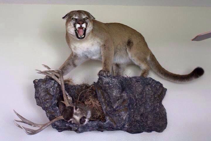 Pin By Joshua J Cadwell On Mountain Lion Mounts