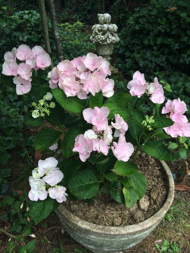 beautiful Hydrangea in an old pot