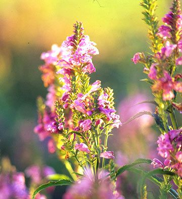 Obedient Plant-south-This fast-spreading plant offers beautiful spikes of snapdragon-like flowers in late summer. Native to the region, it'll add easy-growing grace to your garden as long as you give it plenty of room to roam