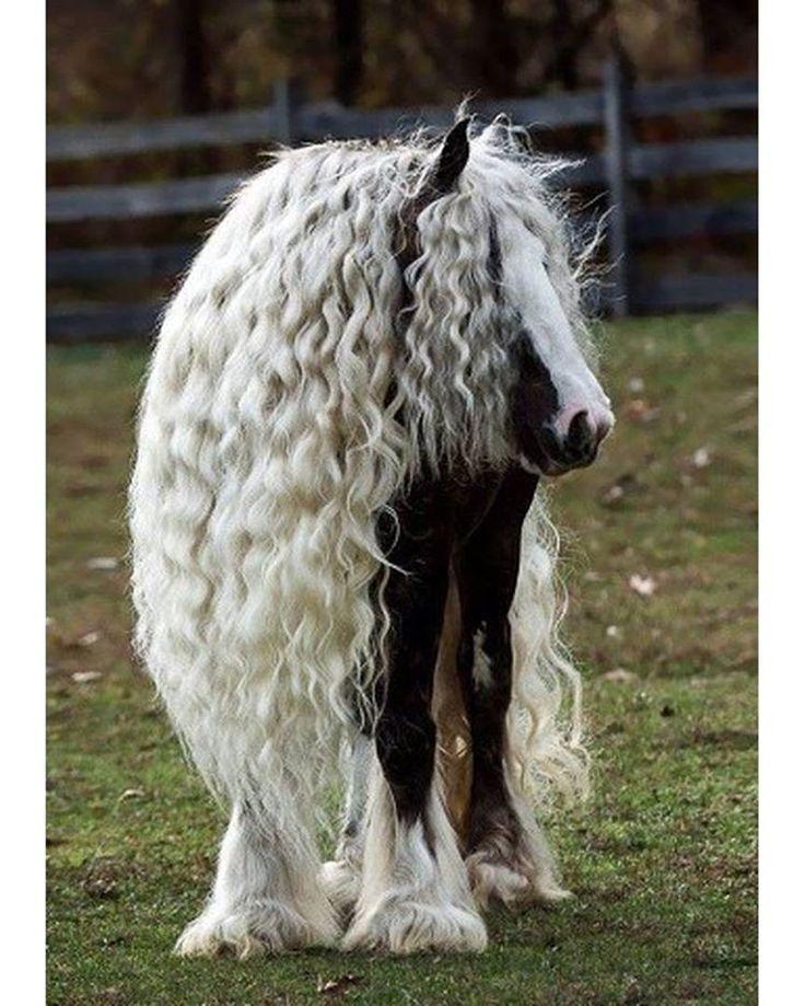 Тинкер или цыганская упряжная лошадь с длинной гривой