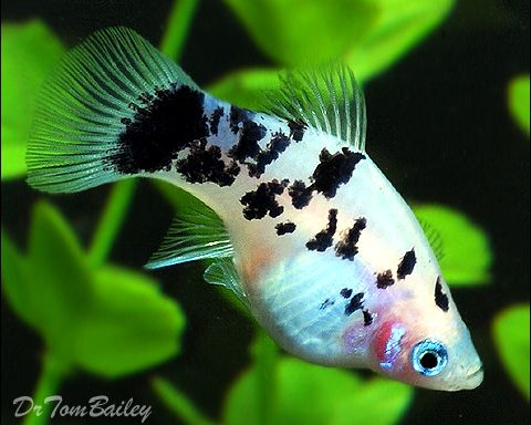 platys | Information about Platys - How to keep and breed Platy Fish in ...