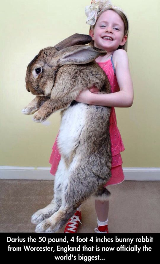 Darius The Giant Bunny...cool bunny but I doubt that little girl is holding 50lbs...she weighs 40.