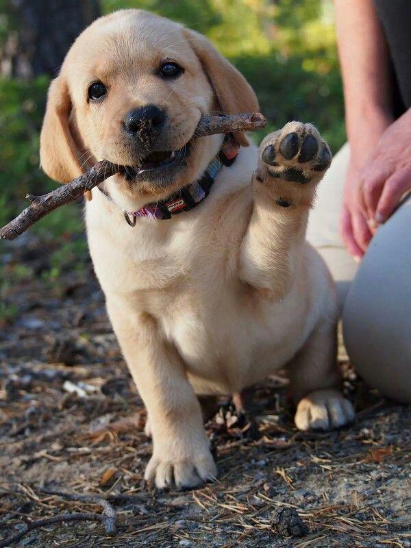 ♡ Labrador #puppy