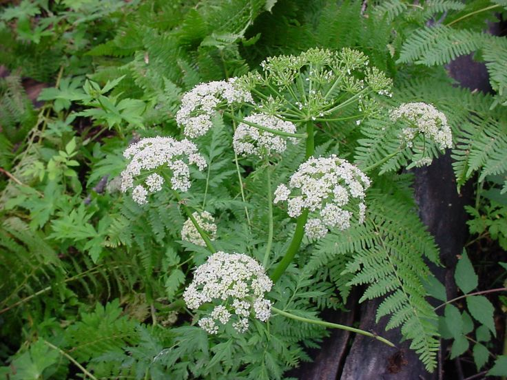 Native Medicinal Plants Part - 29: Osha Root Is A Lung Cleanser And Purifier, Perfect For Coughs, Colds And  Any / All Breathing Issues.