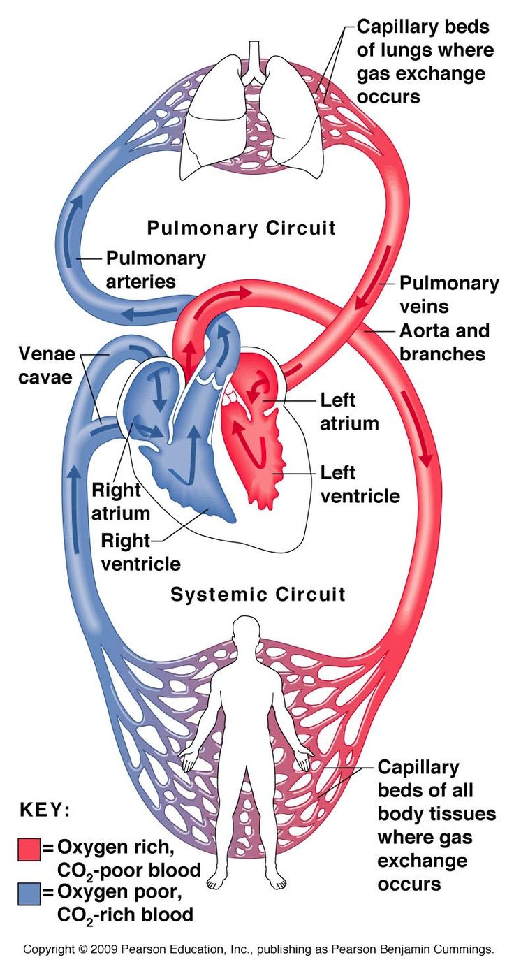 38 best Anatomy images on Pinterest   Learning, Human body and Med ...