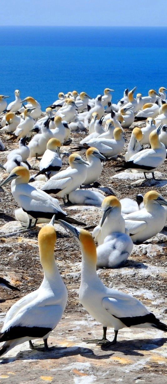 The Largest Most Accessible Gannet Colony in The World Can be Found at Cape Kidnappers, in Hawkes Bay, New Zealand. There Are Hundreds of Birds And it is Absolutely Beautiful.