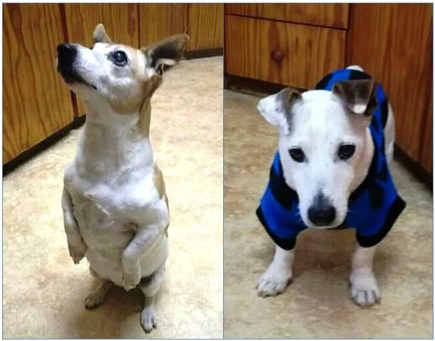 """Update on 2 very special dogs adopted 2 years ago!  Many of you will remember the story of Casper and Tazzie, the two elderly Jack Russells (9 and 10 years old respectively) 2 years have gone by and these two are still happy as bugs in a rug in their home. They are so loved! <3 Which is excactly how every dog should spend their golden years. THANK YOU to their family for being absolute animal angels!  """"Blessed is the one who has won the affections of an old dog."""""""