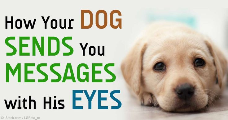 Research reveals that in canine eye-based communication system, your dog communicates with his friends and foes using his eyes alone. http://healthypets.mercola.com/sites/healthypets/archive/2015/02/17/canine-eye-gaze-communication-system.aspx