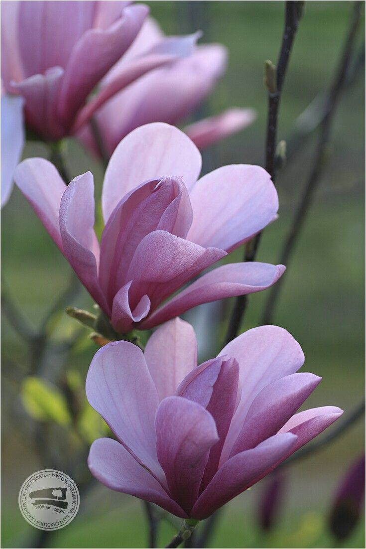 Magnolia 'Susan' #KolekcjaMagnolii dr hab. Jana Toneckiego #szklarnieSGGW #budynek35 #magnolie #ogrodnictwo #WOBiAK #SGGW 🏡🌼🌼🌼 #MagnoliaCollection by Dr Jan Tonecki #WULSgreenhouse #building35 #magnolia #magnolias #horticulture #WULS