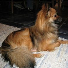 Adult Pomeranian Papillon mix... Isn't he GORGEOUS?