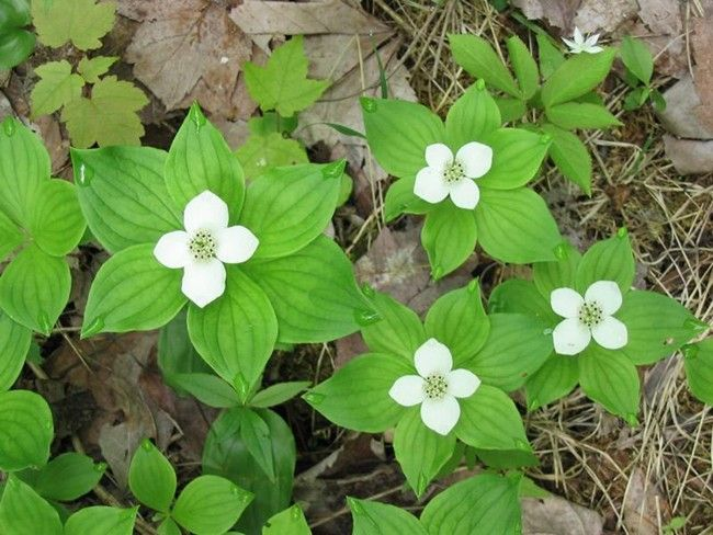 Bunchberry Berries (Cornus Canadensis) in Ontario are the ground cover of the dogwoods. Red berries clustered on a stalk form after flowering. Shade loving this berry has a mild taste with a crunchy seed. Careful: unripe berries can cause stomach cramps.