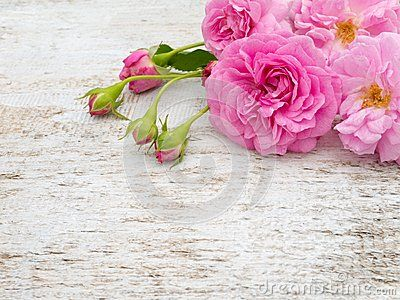 Pink double roses and buds on the white rustic background