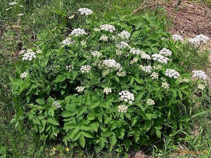 Aegopodium podagraria (Apiaceae); Giersch, Geißfuß