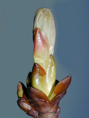 CHESTNUT BUD [Bach Flower Remedy] :: homeopathyandmore.com