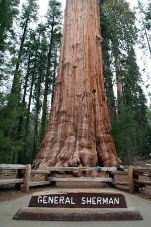 General Sherman, the world's largest tree, in Sequoia National Park  Sequoia and Kings Canyon National Parks - Wikitravel