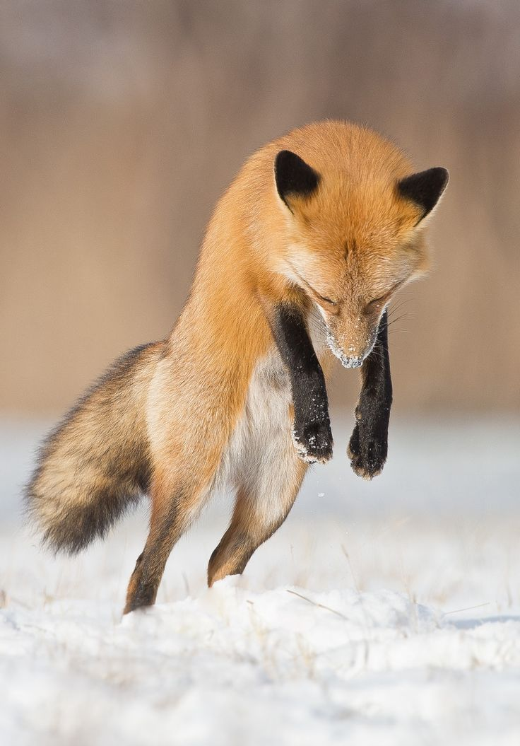 fox ears jump animal - photo #40