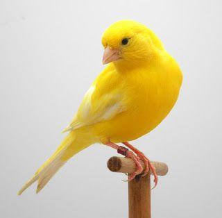 Malinois Waterslager canary - ΕΚΤΡΟΦΕΑΣ ΜΑΛΙΝΟΥΑ : Περί  επιλογής   τροφών   βιταμινών  και  άλλα
