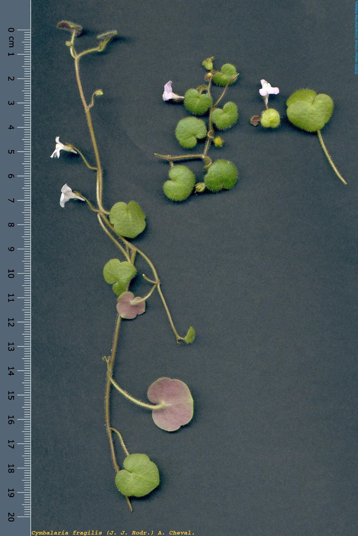 Cimbalaria Fragilis