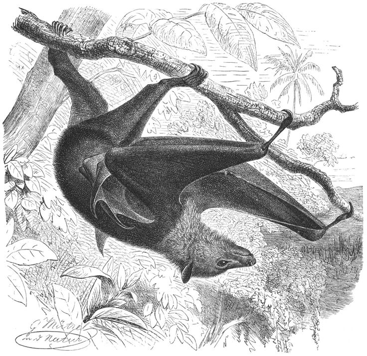 Large flying fox, Pteropus vampyrus :: Megabats constitute the suborder Megachiroptera, family Pteropodidae of the order Chiroptera (bats). Common Names: Fruit Bat, Old World Fruit Bat, or (especially the genera Acerodon & Pteropus) THE FLYING FOX=) http://en.wikipedia.org/wiki/Megabat