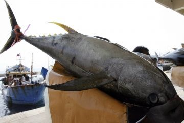 A worker carries freshly caught yellowfin tuna at a fish port in General Santos city in southern Philippines