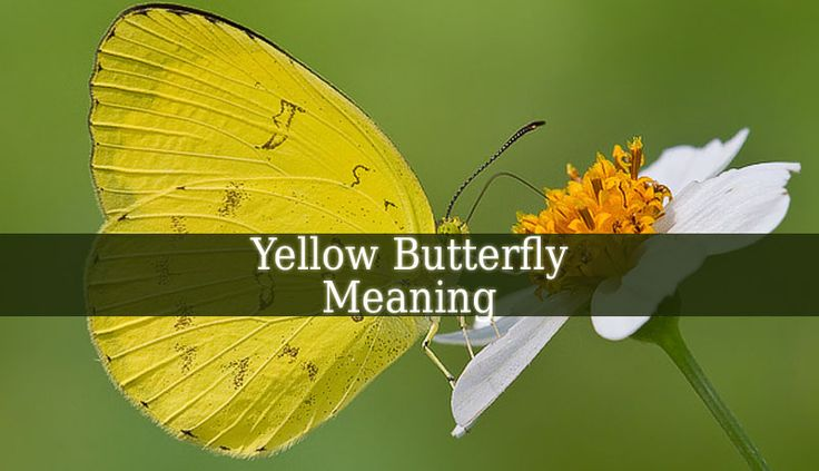 Yellow Butterfly Meaning - a yellow butterfly can be a sign of happiness and hope. It brings positive energy and fun. But it can also be a sign of illness.