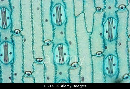 Stoma, guard cells, Corn, Poaceae, monocotyledon, 400 X, optical microscope, photomicrography , plant anatomy , botany. Stock Photo