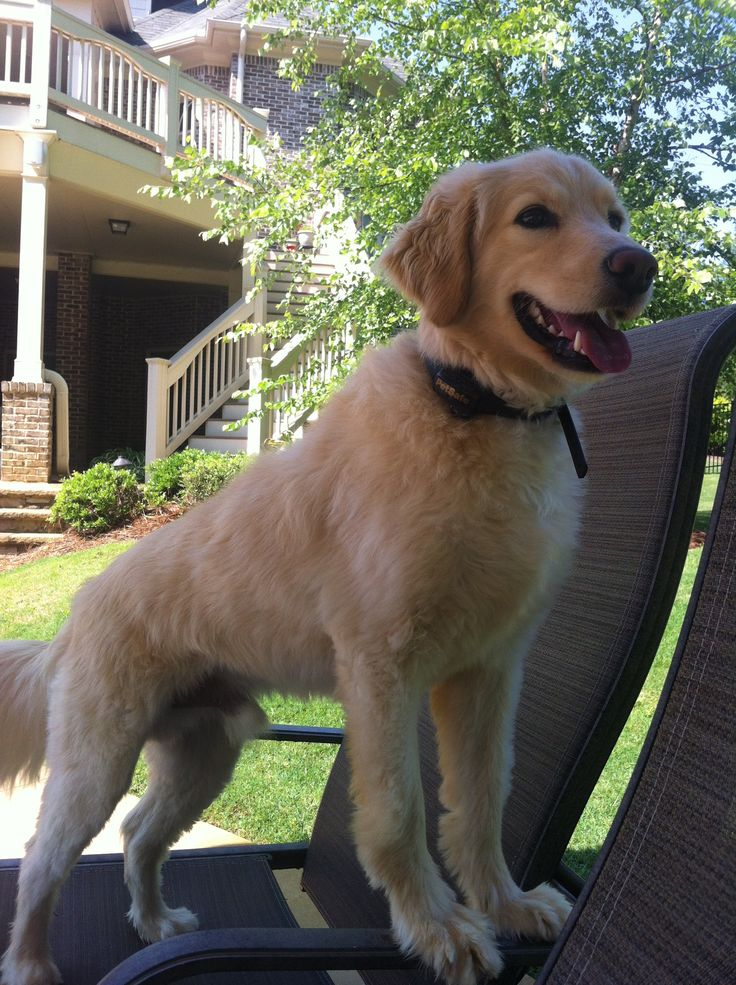 Full grown Golden Retriever-Cocker Spaniel (Comfort ...