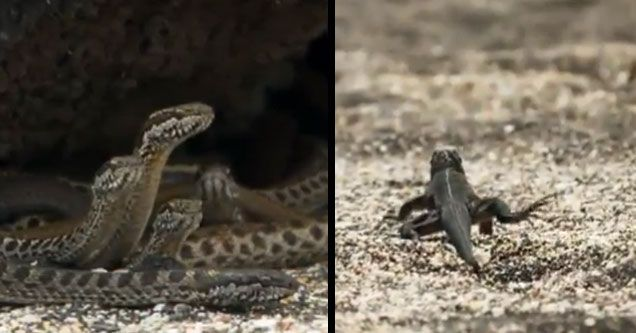 From birth Marine Iguanas fight for their lives - Wow Video