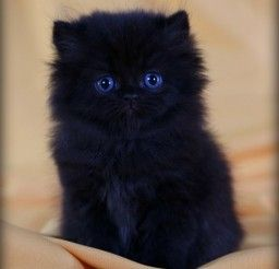 450x554px Black Persian Cats For Sale Picture in Persian Cat