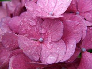 Gambar Bunga Hortensia Pink Terkena Siraman Air
