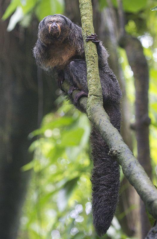 Saki monkey. Getty Images.