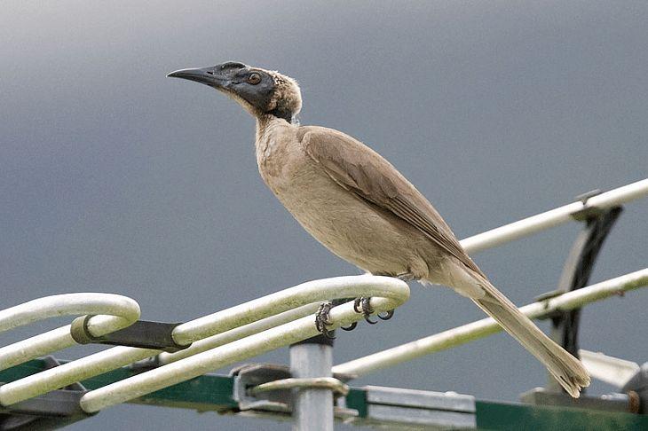 Mengenal Ciri Khas Burung Cucak Timor Dan Habitatnya Burung Jalak