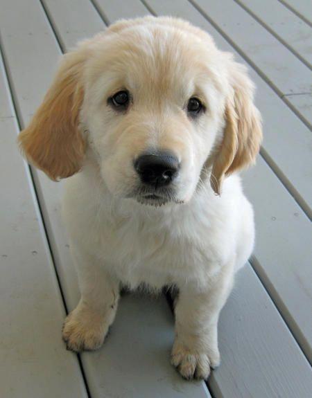 Golden Retriever Noble Loyal Companions Dogs Golden Retriever Golden Retriever Golden Retriever Puppy