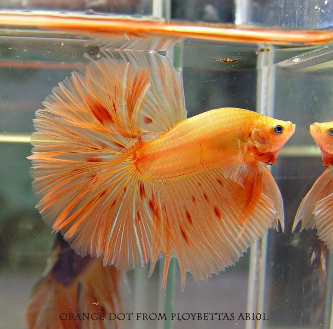 Beautiful Betta Fish. They require the same environment as any other tropical fish: a minimum of a 3-gallon, cycled, filtered, and heated tank. A 5-gallon is much better. The goal in keeping these fish is to allow them to reach their lifespan, and this is not possible in a fish bowl or tiny plastic cube sold in pet shops.