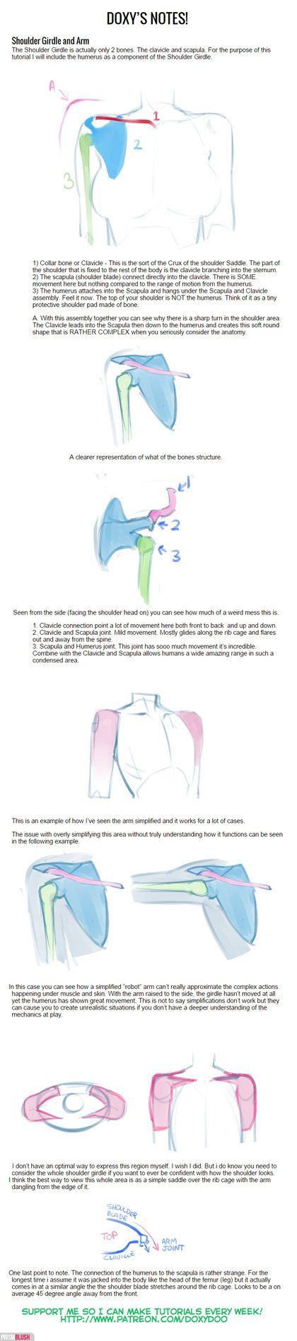 drawing and anatomy the shoulder girdle The deltoid is the shoulder muscle on your upper arm learn about its three heads and how to draw the deltoid in this anatomy lesson.