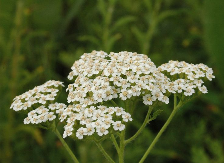 While often sold as a flowering perennial, yarrow plant is actually an herb. Yarrow care is so easy that the plant is virtually carefree. Take a look at how to plant yarrow and more in this article.