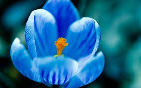Image result for blue tulips