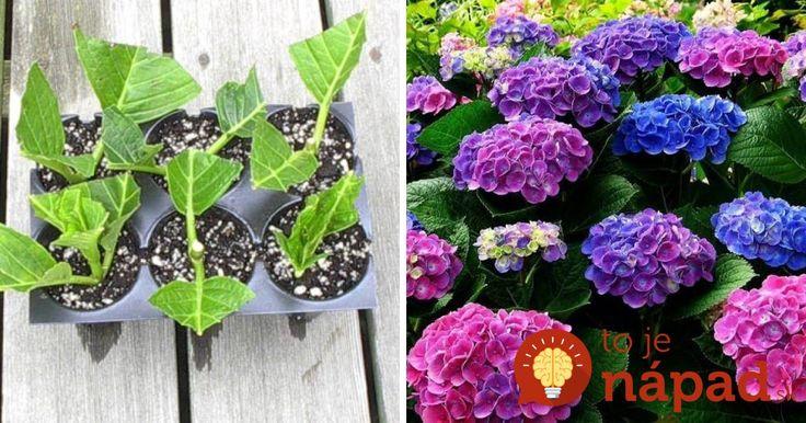 Nenáročné a praktické kry, ktoré rodia doslova bohatú záplavu kvetov od jari až do neskoréholeta, a ktoré si obľúbilo množstvo pestovateľov. Reč je o hortenziách, kríkoch, ktorých kvety sú najčastejšie modré, ale vyšľachtené sú aj biele, krémové či ružové. Hortenzie sú mohutné kry, ktoré môžu pri dobrej starostlivosti dorásť až dovýšky 1 – 3m. Aby...